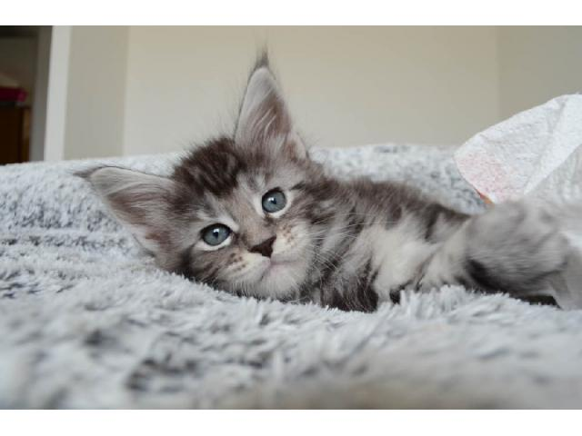 photo de chatons Maine coon LOOF disponibles