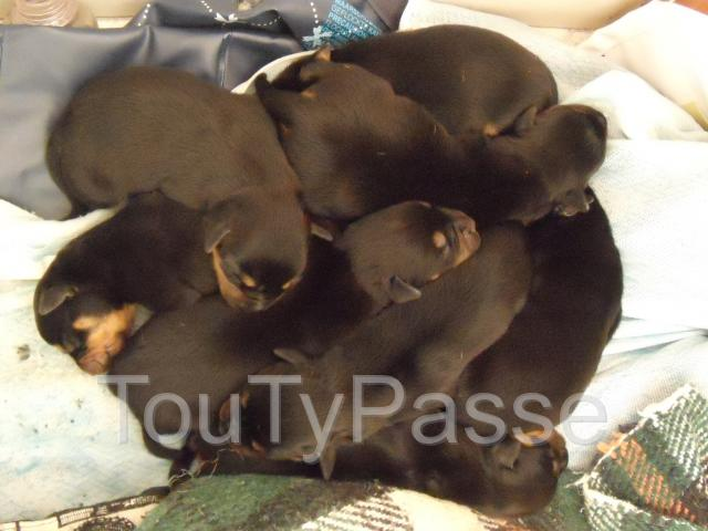 photo de chiots apparence ROTTWEILER