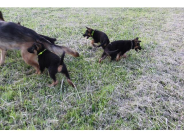 photo de chiots breger allemand