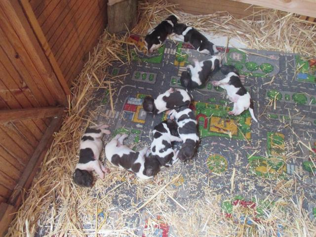 photo de vends portée de chiots